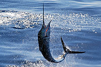 Marlin Fishing Mazatlan Mexico