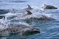 Search for Wild Dolphins in Mazatlan