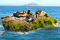 Mazatlan Sea Lion Colony